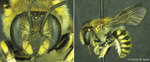 09-17-2013 SWOSU Biology Faculty Discovers New Species of Native Bee from Oklahoma